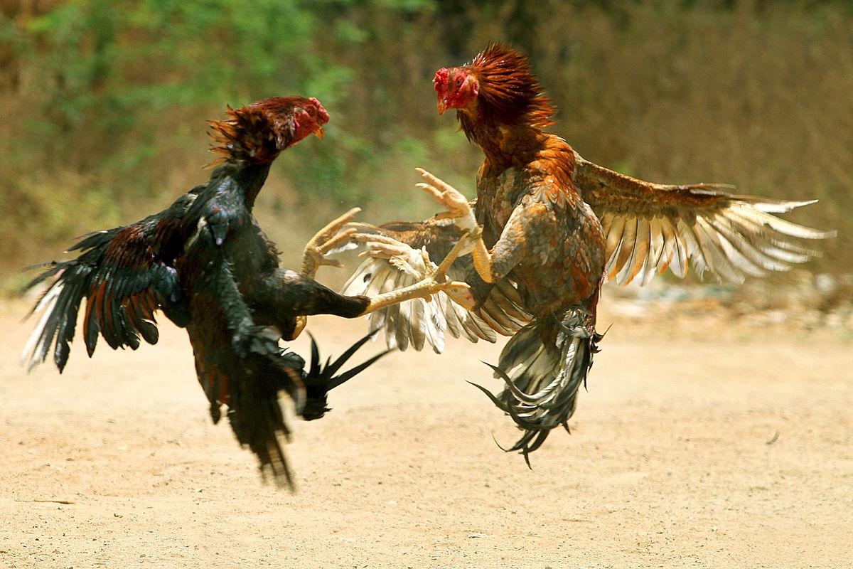 Kenali Ayam Elite